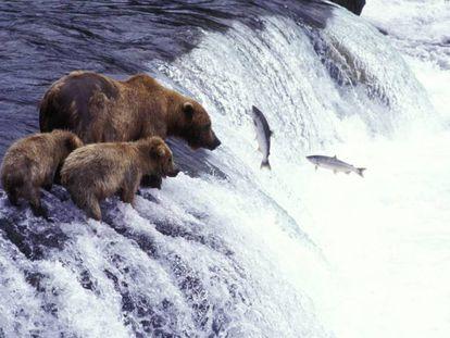 Osos pardos pescando salmón en el río McNeil, en Alaska.