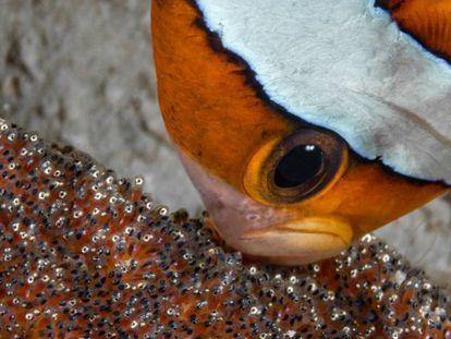 Un pez payaso cuida de sus crías en Amami Oshima Island, Japón.