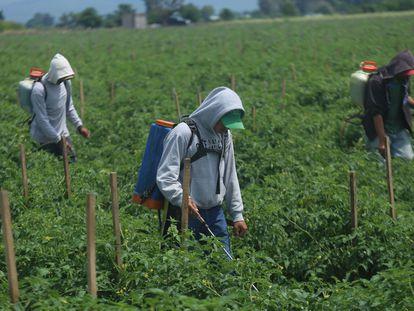 Tres jornaleros rocían pesticidas en un campo de cultivo en Tanhuato, Michoacán.