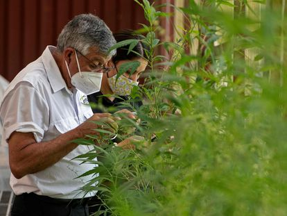 Cultivo de marihuana medicinal en Costa Rica, a comienzos de este mes.