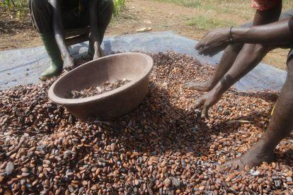 Agricultores trabajan el grano del cacao.