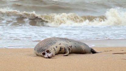 Una de las focas halladas muertas en una playa de Majachkala, Daguéstán, el 11 de diciembre.