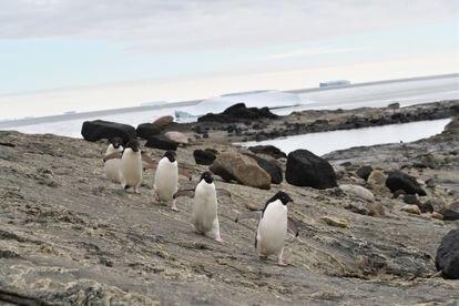 Unos pingüinos de Adelia caminan sin capa de hielo en la bahía Lützow-Holm (Antártida).