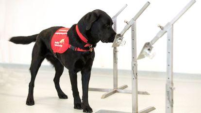 Uno de los labradores que están siendo entrenados en Reino Unido para detectar el coronavirus.