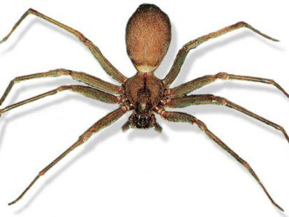 Un ejemplar de la araña 'Loxosceles rufescens', conocida como araña reclusa mediterránea o araña violinista.