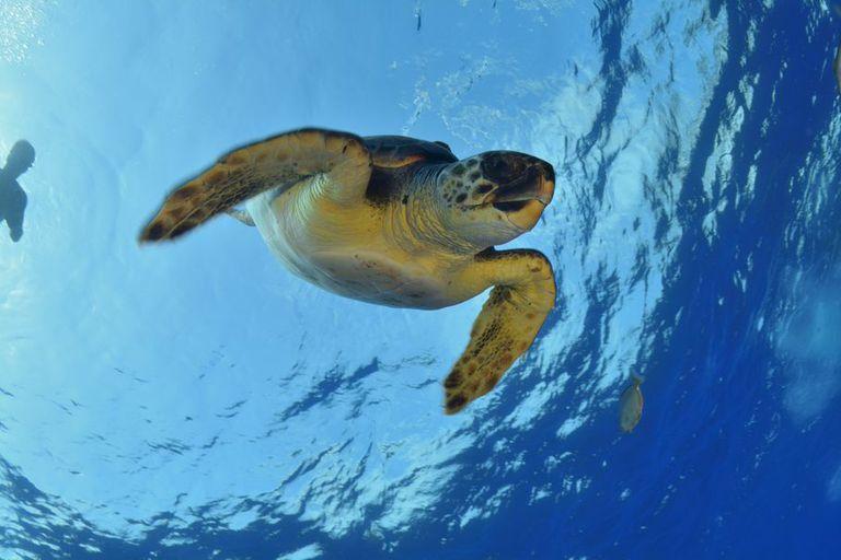 Una tortuga cabezona nada en la inmensidad del Océano Pacífico.  Según la Unión Internacional para la Conservación de la Naturaleza, está en alto peligro de extinción.
