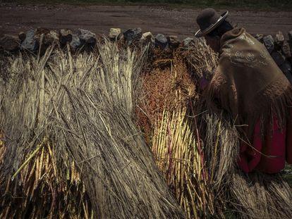 Una campesina coloca las plantas de quinoa recién cortadas contra un muro de piedra para secarlas y luego procesarlas.