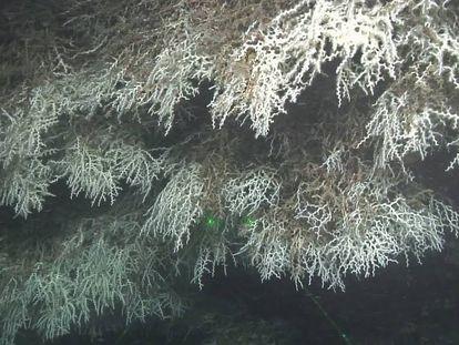 Corales blancos de la especie 'Madrepora', en el cañón de Blanes.