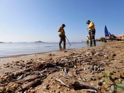 Varios operarios retiran los peces muertos aparecidos en las playas del mar Menor en agosto.