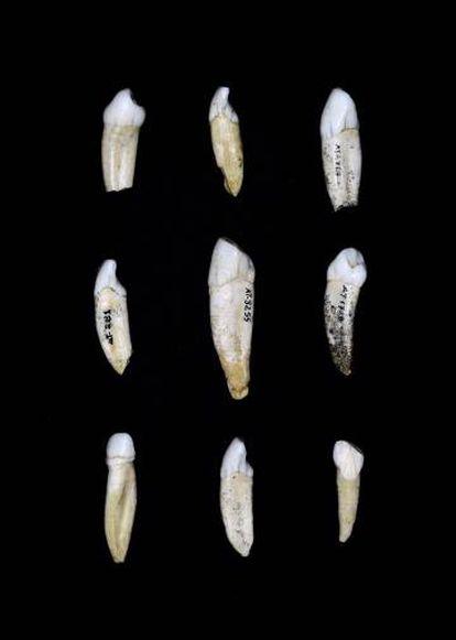 Dientes conservados en el CENIEH.
