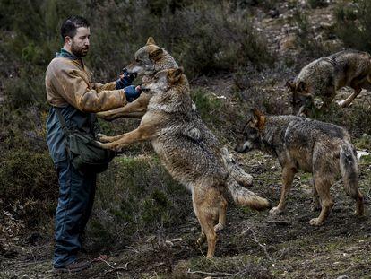 Uno de los cuidadores del Centro del lobo ibérico de Castilla y León da de comer a los ejemplares.