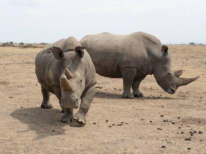 Una de las dos únicas hembras que quedan del rinoceronte blanco del norte, en primer plano, junto a una especie del sur, en una reserva en Kenia.