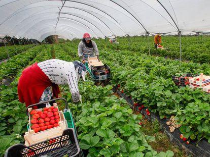 Trabajadoras de origen marroquí recogen fresas en Cartaya (Huelva).