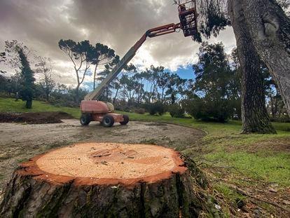 Una grúa trabaja con varios árboles en la Casa de Campo el miércoles pasado