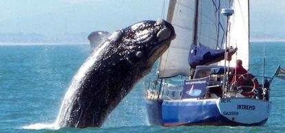 """Momento en el que la ballena franca austral (Eubalaena australis) intenta saltar por encima del yate <i>Intrepid</i>La ballena rompió el mástil pero no hirió a nadie (<a href=""""http://www.elpais.com/fotografia/internacional/salto/elpepuesp/20100721elpepuint_5/Ies/"""" target=""""_blank"""">Ampliar foto</a>)."""