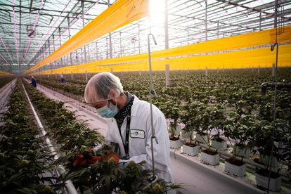 A worker at a cannabis plantation in Ontario this past January.