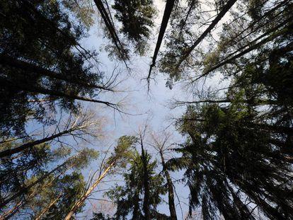 Un bosque cerca de Gatsuk (Bielorrusia).