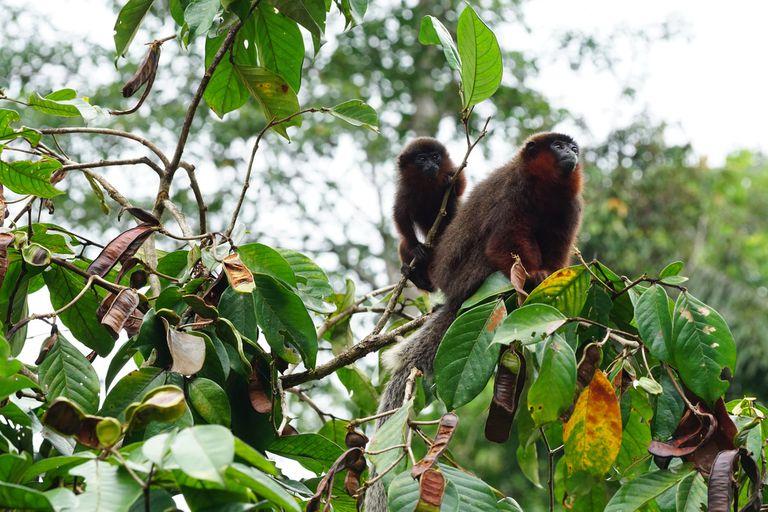 Los monos tití cobrizos de la selva amazónica del Perú sobre la copa de un árbol de Igna.