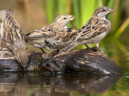 Cuatro gorriones comunes, en una imagen de archivo.