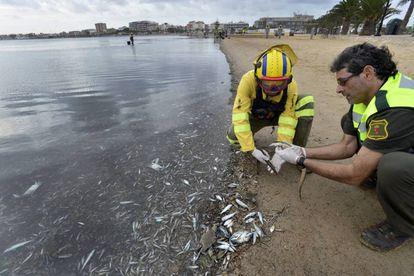 Dos operarios trabajan en la limpieza de algas podridas en las playas del mar Menor (Murcia).