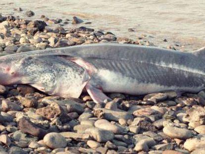 Un pez remo gigante hallado cerca de la represa de Gezhouba (China) en 1993.
