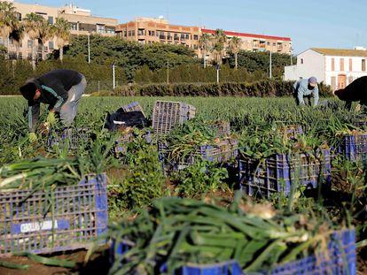 Varios trabajadores de la huerta valenciana el pasado mes de enero en Alboraia (Valencia).