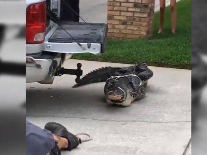 Los vecinos captaron el momento en que el caimán golpea violentamente a su víctima.