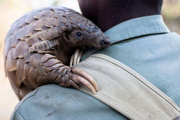 """Un guía de una reserva animal de Zimbabue coge en brazos a """"Marimba"""", una pangolina de diez kilos."""