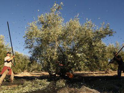 Varios jornaleros trabajan en la recogida de la aceituna en Granada.