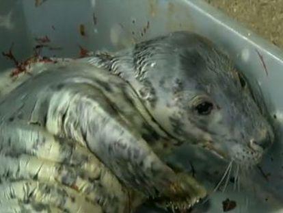 El mamífero, que apareció en la costa gallega hace tres meses, fue cuidado por un grupo de voluntarios que ha logrado duplicar su peso hasta los 30 kilos