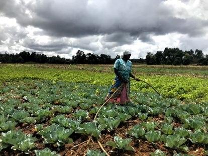 Teresia Wanjiku riega su campo de coles.