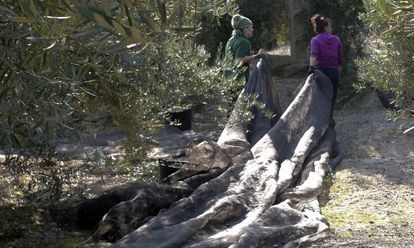 Mujeres trabajando en la eecolección de la aceituna en Jaén