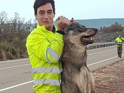 Uno de los hombres que atropelló a un lobo ibérico en Castilla y León, con el animal muerto.