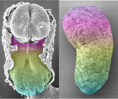 Comparación de un embrión humano de 18 a 21 días, a la izquierda, y el modelo de embrión artificial. Los colores indican la expresión de los mismos genes. En el embrión real la parte superior corresponde al cerebro, ausente en el modelo.
