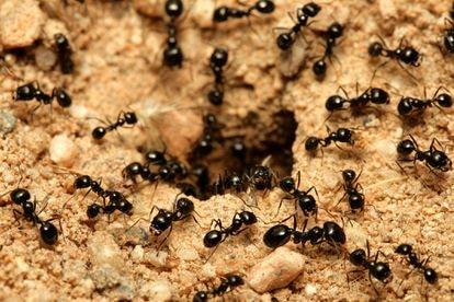 Las hormigas negras de jardín infectadas por un hongo se alejan del nido para morir.