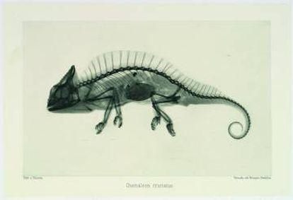 La invención de los rayos X despertó una curiosidad sin límites por ver el interior de todas las cosas. Aquí, 'Photographie mittelst der Röntgen-Stahlen'. Camaleón visto con rayos X, de Josef Maria Eder y Eduard Valenta (1896). |