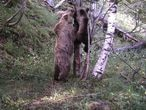 La poblaci—n de osos en elPirineo alcanza los 64 ejemplares. En la imagen,  facilitada por el Departament de Territori i Sostenibilitat de la Generalitat de Catalunya, se aprecia una osa  y cachorros