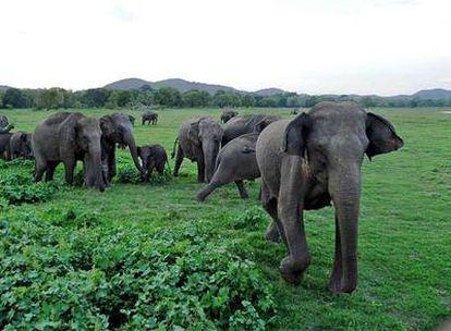 Las dos familias de elefantes, el asiático (en la imagen) y el africano   , están entre las especies amenazadas.
