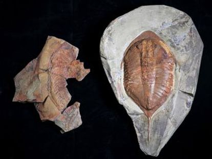Científicos españoles encuentran una nueva especie que aclara una de las grandes polémicas de la paleontología