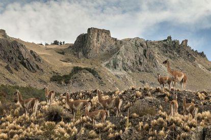 La cría de guanacos, animal típico del lugar, ha demostrado ser positiva para la Patagonia.