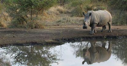 Rinoceronte en la reserva privada Edení Game, en Sudáfrica.