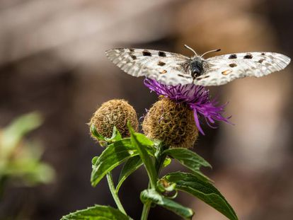 Mariposa Apolo, una de las que más sufren el efecto del cambio climático.