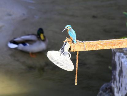 Un martín pescador entre los nuevos inquilinos del río Manzanares a su paso por Madrid Río.