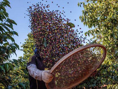 Un agricultor durante la cosecha de café en la localidad brasileña de Guaxupe.