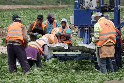 Un grupo de trabajadores recoge la cosecha en un campo de Murcia sin ningún tipo de protección sanitaria contra el coronavirus y sin guardar la distancia de seguridad.