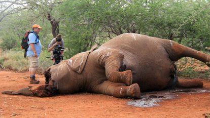 Un elefante mutilado para obtener sus colmillos, en Botsuana.