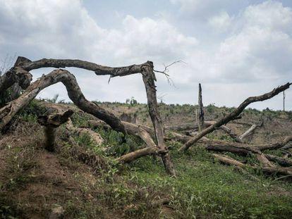 Árboles talados para abrir espacio al cutivo de palma en el norte de Liberia.