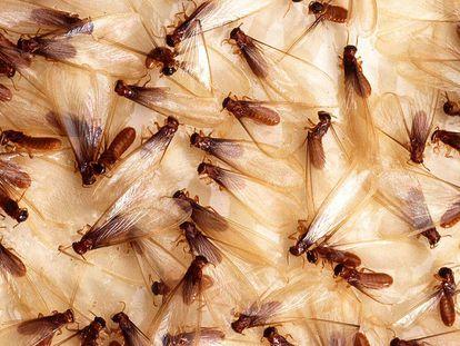 Las termitas de Formosa, en la imagen la casta de las aladas, se han expandido por todo el mundo desde el este de Asia.