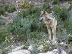 Un lobo de una manada criada en semilibertad en Robledo de Chavela (Madrid).