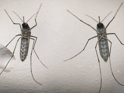 Dos mosquitos Aedes aegypti, transmisores del zika.